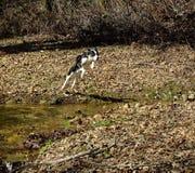 Springende Hond stock afbeelding
