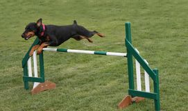 Springende Hond. Stock Foto