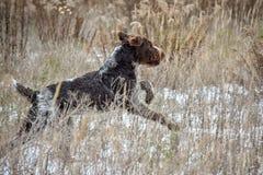 Springende Hond De Duitse sprong van de draad haired wijzer op het gebied royalty-vrije stock afbeeldingen
