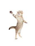 Springende Katze striped Scottishfalte getrennt lizenzfreie stockfotos