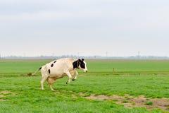 Springende Kuh Lizenzfreies Stockbild