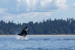 Springende Orka stock fotografie