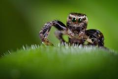 Springende spin en de kleine bladluis Stock Afbeeldingen