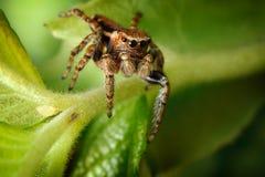 Springende spin en de kleine bladluis Royalty-vrije Stock Foto