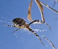 Springende Spinne Stockbild