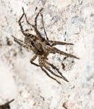 Springende Spinne Lizenzfreies Stockfoto