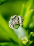 Springende Spinne Stockfotos