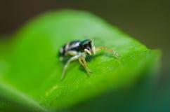 Springende Spinne. Stockfoto