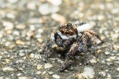 Springende Spinne Lizenzfreies Stockbild