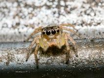 Springende Spinne auf altem Rostmetall Lizenzfreies Stockfoto