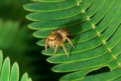 Springende Spinne auf Anlage Lizenzfreie Stockfotos