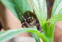 Springende Spinne auf Anlagen in der Natur Lizenzfreies Stockbild