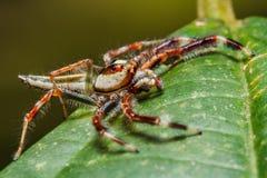 Springende Spinne auf Blatt Stockbilder