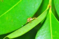 Springende Spinne auf dem Blatt stockbild