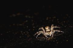 Springende Spinne auf dem Scheinwerfer Stockfoto