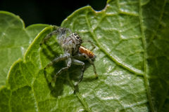 Springende Spinne auf einem Blatt Lizenzfreie Stockfotos