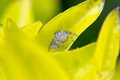 Springende Spinne auf einem Blatt Stockfoto