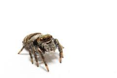Springende Spinne auf einem weißen Hintergrund lizenzfreies stockbild