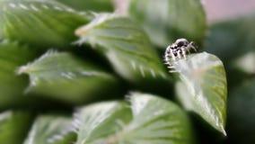 Springende Spinne auf einer Blume lizenzfreie stockfotos