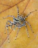 Springende Spinne auf Fallblatt Lizenzfreies Stockbild
