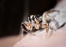 Springende Spinne auf getrocknetem Blatt Stockfoto