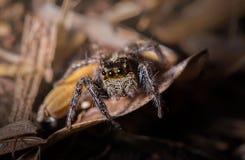 Springende Spinne auf getrocknetem Blatt in der Natur Stockbilder