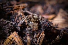Springende Spinne auf getrocknetem Blatt in der Natur Lizenzfreie Stockfotografie