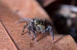 Springende Spinne auf getrocknetem Blatt in der Natur Stockbild