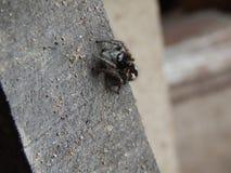 Springende Spinne auf Holz Stockfotografie