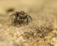 Springende Spinne auf Protokoll Lizenzfreies Stockfoto