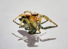 Springende Spinne auf reflektierender Oberfläche lizenzfreie stockfotografie