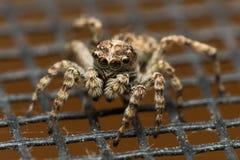 Springende Spinne auf Schirm Stockfotos