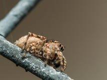 Springende Spinne Browns auf Fenstergitter lizenzfreie stockfotos