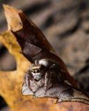 Springende Spinne Browns auf gelbem Blatt lizenzfreie stockfotografie