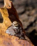 Springende Spinne Browns auf gelbem Blatt lizenzfreie stockfotos