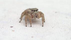 Springende Spinne Browns, die mich und das Erlöschen des Rahmens betrachtet stock video