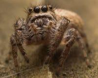 Springende Spinne Browns mit Netz Lizenzfreie Stockbilder