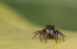 Springende Spinne des Babys Lizenzfreies Stockfoto