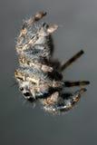 Springende Spinne, die unten hängt Stockfoto