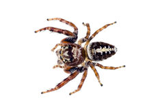 Springende Spinne, Familie Salticidae Lizenzfreies Stockbild