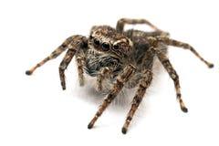 Springende Spinne getrennt über Weiß stockbild