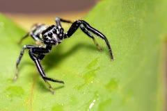 Springende Spinne, Malaysia Stockfotografie