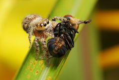 Springende Spinne mit seinem Opfer Lizenzfreies Stockbild