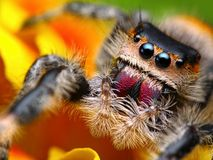 Springende Spinne Phidippus königlich   Stockfotos