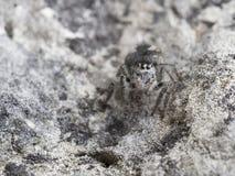 Springende Spinne, Philaeus-chrysops lizenzfreie stockbilder