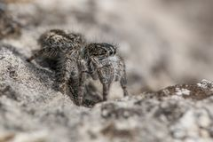 Springende Spinne Philaeus-chrysops in der Tschechischen Republik stockbilder