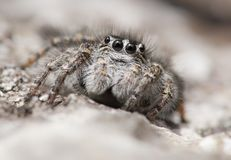 Springende Spinne Philaeus-chrysops in der Tschechischen Republik lizenzfreie stockfotografie