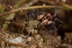 Springende Spinne, Portia Lizenzfreies Stockfoto