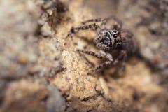 Springende Spinne Salticidae Lizenzfreies Stockbild