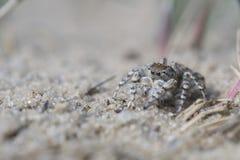 Springende Spinne, Yllenus-arenarius stockbild